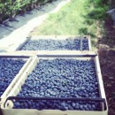 2012_07_20-Blueberries